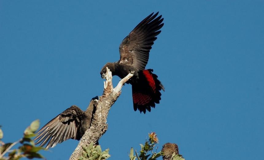 glossy-black-cockatoo-lamington-national-park-christmas-creek