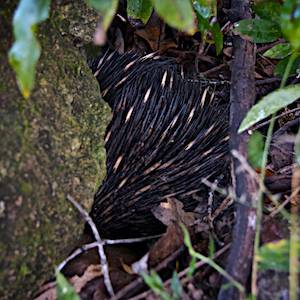 Lost-world-wildlife-echidna-Nightfall-wilderness-camp