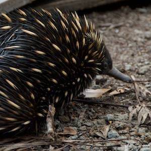 echidna-wildlife-Nightfall-camp-luxury-tent-glamping-queensland-australia