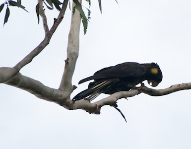 yellow-tail cockatoo, feeding on flooded gums @Nightfall wilderness camp - 2013-05-16 at 15-22-07