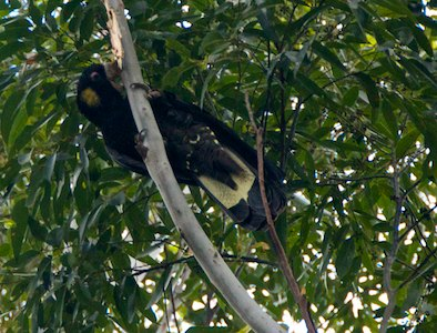 yellow-tail cockatoo, feeding on flooded gums @Nightfall wilderness camp - 2013-05-16 at 15-41-17